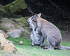 """...and your ears are filthy!  Tsk, tsk.""  (Bennett's Wallaby)"