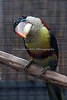 Now here's a bird with character!  (Curl-crested Aracari)