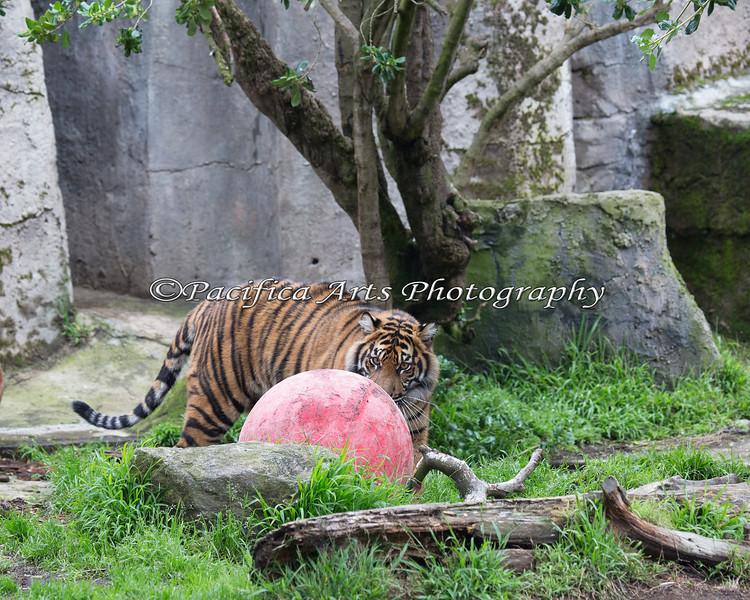Stalking the ball... (Jillian, a Sumatran Tiger)