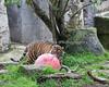 Stalking the ball... (Jillian, a Sumatran Tiger)