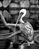 Brown Pelican in B&W...so maybe I should now call this a B&W Pelican!