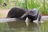A female Giant Anteater wading in the pond.