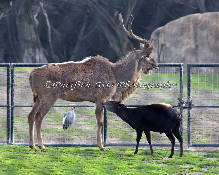 Eric, the Yellow-backed Duiker, gives the Greater Kudu an affectionate lick.