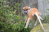 A young Patas Monkey playing chase in the exhibit.