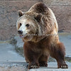 Grizzly Bear, Kiona, waiting to go into Grizzly Gulch.  There might just be a fish snack in the pool today!