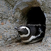 Magellanic Penguin (#189 - Mr. Lovelace)