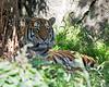 Amur Tiger - male