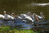 A flock of five American White Pelicans, paddling around the Billabong.