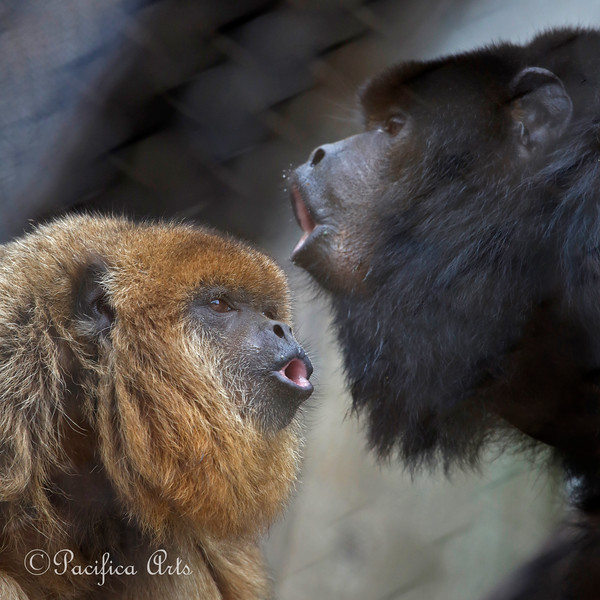 """Black Howler Monkeys howling.  Female,""""Lincecum"""" on left and  & male, """"Robin Williams"""" on right."""