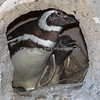 """Hey Mom, can I go out and play?""  (Magellanic Penguins)"