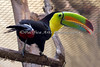 Pretty in the front, and pretty in the rear!  (Keel-billed Toucan)