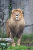 A very regal Jahari (African Lion)