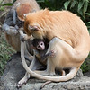 Ginger grooming Winnie's tail, and baby (Patas Monkeys)
