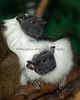 Two female Pied Tamarins.  The one on the left is grooming the one below.