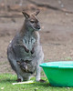 Bennett's/Red Necked Wallaby with her little joey.