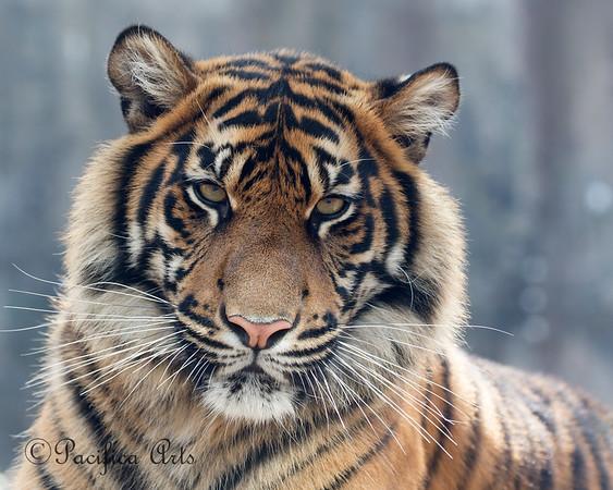 """Portrait of Jillian"" (Sumatran Tiger, 1 yr old)"