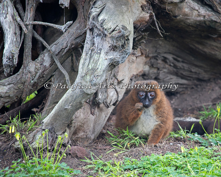 Red-bellied Lemur - female