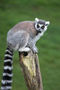 Ring-tailed Lemur checking out the view from the top.