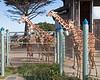 Reticulated Giraffes: baby girl, Barbro, Eve, Bititi & Erin