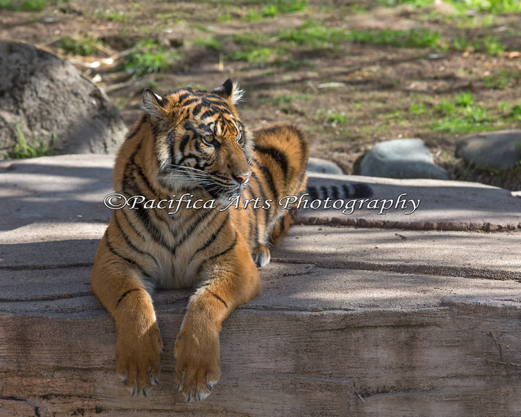 Hanging ten.  A very big Jillian - now a year old. (female Sumatran Tiger)