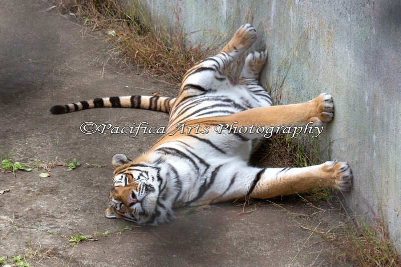 """""""Did you get my good side?""""  (Siberian Tiger)"""