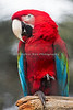"""Lets shake on it!"" (Green-winged Macaw)"