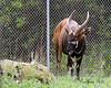 Look at the size of those horns!  (Eastern Mountain Bongo)