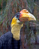 Wrinkled Hornbill.  This is one fancy bird!