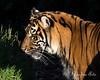 Jillian in the shadows  (Sumatran Tiger)