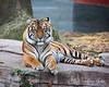 "Sumatran Tiger, ""Leanne"""
