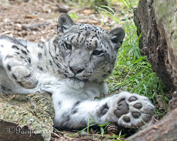 Kellie, a Snow Leopard, stretching out on the grass.  Love those big, furry paws!