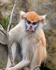 Here's little Frieda, a young Patas Monkey