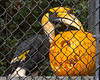 The Keepers do a great job creating enrichment for the animals.  Here's Hercules, a Great Indian Hornbill, trying to figure out how to get into the pumpkin.  (There are mealworms hidden inside!)