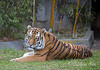 So Beautiful!  (J.T. Bronevik, Siberian/Amur Tiger)