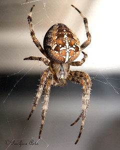 A bigger than life, Cross Orbweaver spider!  He's busy spinning his web at the Insect Zoo.