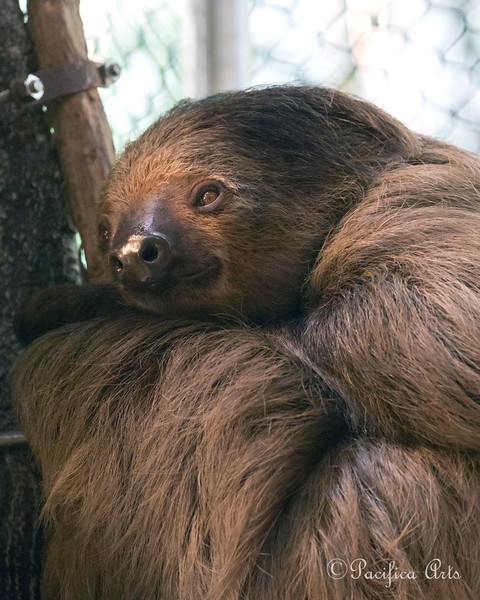 "Linneaus's Two-toed Sloth, ""Moony"""