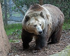 Kachina, a  female Grizzly Bear