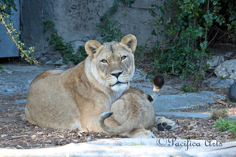 Cuddling with Cubby.  (African Lions)