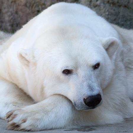 Uulu, all ready for her afternoon siesta. (Polar Bear)