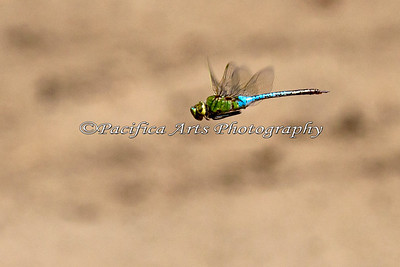 Dragonfly (wild).  I found this flying by the Kangaroo exhibit.  Lots of wild animals call the Zoo their home.