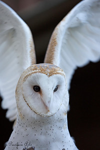 Wilbur, stretching his wings.  (Barn Owl)