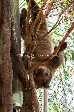 """Moony Bartholomew Finch"" comes down for a visit!  (Linneaus's Two-toed Sloth)"