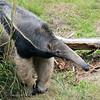 Female Giant Anteater, Evita