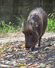 Chacoan Peccary walking through the Autumn leaves.