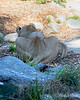 Sukari & Cubby, busy chewing on a bone. (African Lions)