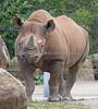 Boone enjoying some tasty hay.  (Black Rhinoceros)