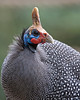 Reichenow's Helmeted Guineafowl