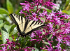 The San Francisco Zoo is full of wildlife!  Here's a Tiger Swallowtail on Fuchsia Shrub.