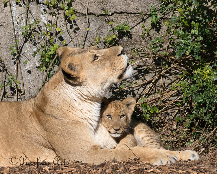 All snuggled up next to mom.  <br /> (African Lions, Sukari & cub)
