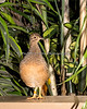 A little Andean Tinamou in the South American Aviary.
